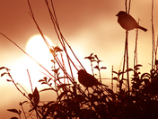 Sunset  spotlights Sparrow!