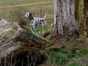 Taking some pictures of trees in Catton Park and up pops this Dalmation