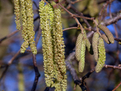 Catkins in January?
