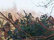 Sparrows in Holly bush.