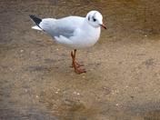 Sea Gull at Wroxham