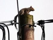 High tension squirrel