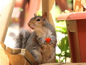 Strawberry Thief Caught Red Handed