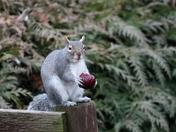 Fruity Squirrel