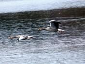 Greylag at Lackford Lakes