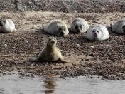 Blakeney Point Seals