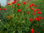 River Waveny Poppies