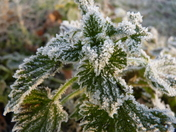 nettles on a frosty morning