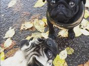 Walkies with the pugs