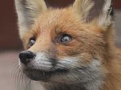 Fox sitting by my garden patio door.