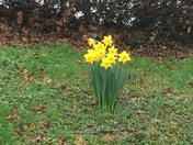 Daffodils at North Devon District Hospital