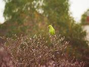 wild parrots found in romford garden
