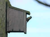 Blue tit checking out the nest box