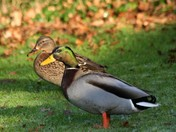 Pair of Mallards at the garden pond