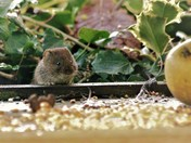 Victor the vole, looking to get peared up