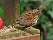 Dunnock at the bird table