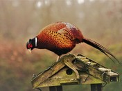 Mr Pheasant at the bird tables