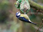 Blue tit on a fat ball