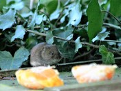 Victor the vole arrives in Orange County