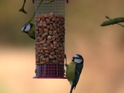 Great Tit, Blue Tit and robin on the feeders