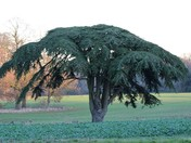 Lebanon Ceder Tree in Suffolk field