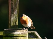 Robin on the bird table