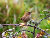 Wren on a bramble bush