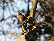 Robin having a look