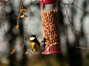 Great Tit on the new bird feeder