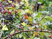 Wet Robin in the hedge