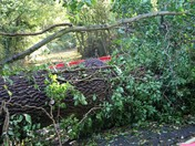 High winds bring down tree in Hasketon