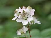 Bramble on Bloom