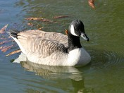 Canada Goose on the park pond
