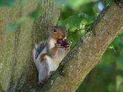Greedy Grey Squirrel at the Park