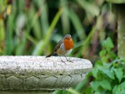 Robin in the garden