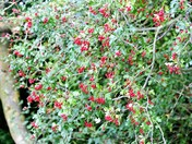 Autumn Colours - Berries and hips