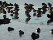 Ducks on Leathes Ham