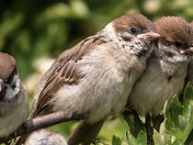 Close up of four little Sparrows.