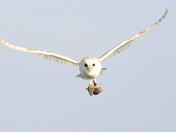 Barn Owl with prey.