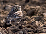Little Owl looking hunting for worms.