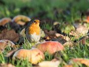 Robin in the Orchard.