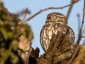 Little Owl giving me the wink.