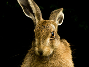 A beautiful Brown Hare in my friends garden,