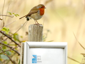 Little Robin saying give nature a home at Christmas.