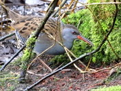 More Water Rails