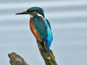 Strumpy Kingfisher