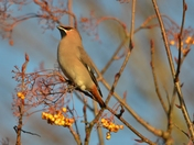Handsome Waxwing
