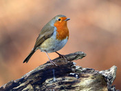 Robin at Lackford
