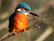Kingfisher in the winter sunshine