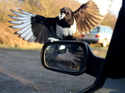 Magpie Mirror Magic 1